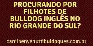 Filhotes de Bulldog Ingles , Bulldog Ingles, Criação Bulldog Ingles, Especializado Bulldog Ingles, Bulldog Ingles preço,WhatsApp (51) 9 8437 1850.