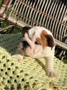 bulldog ingles , canil benvenutti , buldogue ingles , filhote bulldog ingles